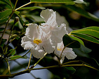 Tabebuia pallida flowers in Secunderabad, AP W IMG 6694