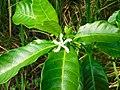 Tabernaemontana citrifolia (Leaves and flower).jpg