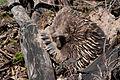 Tachyglossus aculeatus (Short-beaked Echidna), Moora Track, Grampians National Park, Victoria Australia (5044250170).jpg
