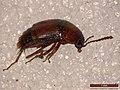 Tachyporus dispar (28607092838).jpg