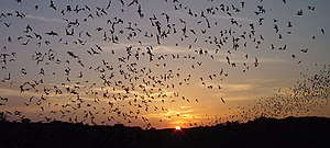 Animal migration - Mexican free-tailed bats on their long aerial migration