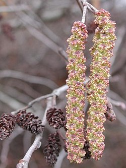 Alnus serrulata (Tag Alder)Male catkins on right,mature female catkins leftJohnsonville, South Carolina