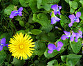 Taraxacum Violets.jpg