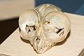 Tarsier skull.jpg