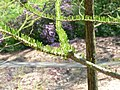 Taxodium distichum3.jpg