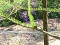 Taxodium distichum3.jpg