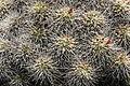 Teguise Guatiza - Jardin - Mammillaria compressa 03 ies.jpg
