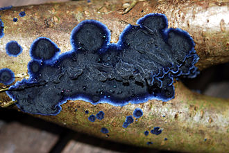 Corticioid fungi - The corticioid fungus Terana caerulea, growing on the undersurface of dead branches