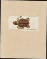 Testudo caretta - 1700-1880 - Print - Iconographia Zoologica - Special Collections University of Amsterdam - UBA01 IZ11600207.tif
