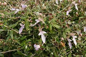 Teucrium - Tree Germander (Teucrium fruticans)