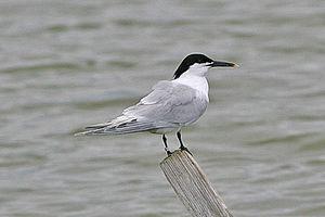 Sandwich tern - Image: Thalasseus sandvicensis Rye Harbour 1