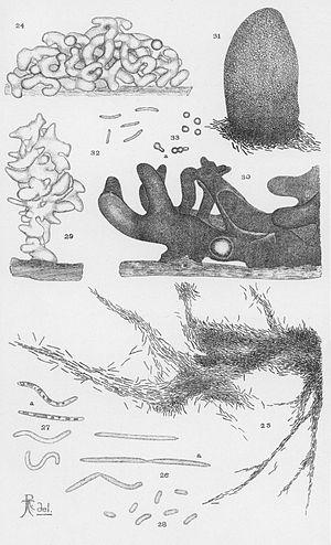 Myxobacteria - Image: Thaxter Myxobacteria 3
