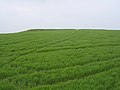 The Long Bredy bank barrow, Martin's Down - geograph.org.uk - 25021.jpg
