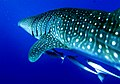 The Whaleshark Collection at Daedalus Reef, Red Sea, Egypt passing by (6147781650).jpg
