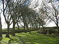 The avenue of sycamore trees leading to St Peirio's Church, Rhosbeirio - geograph.org.uk - 1248029.jpg