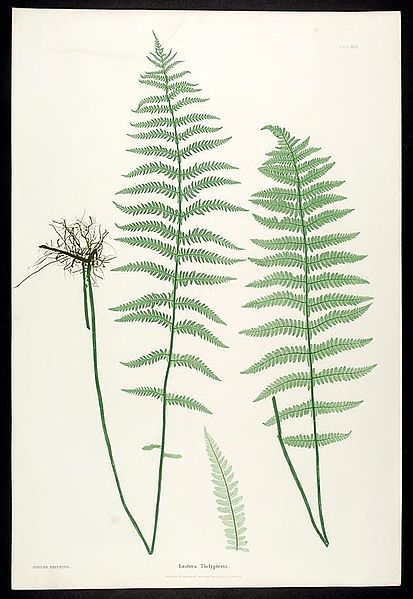 File:The ferns of Great Britain and Ireland (Plate XXIX) BHL301863.jpg