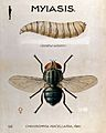 The larva and fly of Chrysomyia macellaria. Coloured drawing Wellcome V0022565.jpg