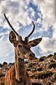 The red deer of the Parnitha mountain.jpg