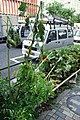 The sunflowers beaten down by the typhoon (1350444367).jpg