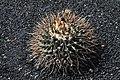 Thelocactus rinconensis in Jardin de Cactus on Lanzarote, June 2013.jpg