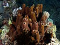 Theonella cylindrica (Tube sponge).jpg