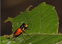 Therates fasciatus (F 1801) (4716695004).jpg