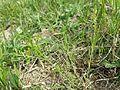 Thesium ramosum sl12.jpg