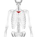 Thoracic vertebra 4 posterior2.png