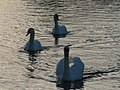 Three swans a-swimming - geograph.org.uk - 612402.jpg