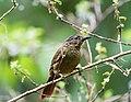 Thripadectes melanorhynchus - Black-billed Treehunter.jpg