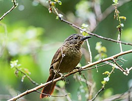 Thripadectes melanorhynchus - Black-billed Treehunter.jpg