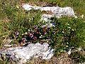 Thymus Esino.jpg