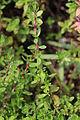 Thymus quinquecostatus (leaf).JPG