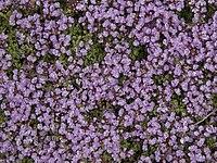 Thymus serpyllum-IMG 0601.jpg