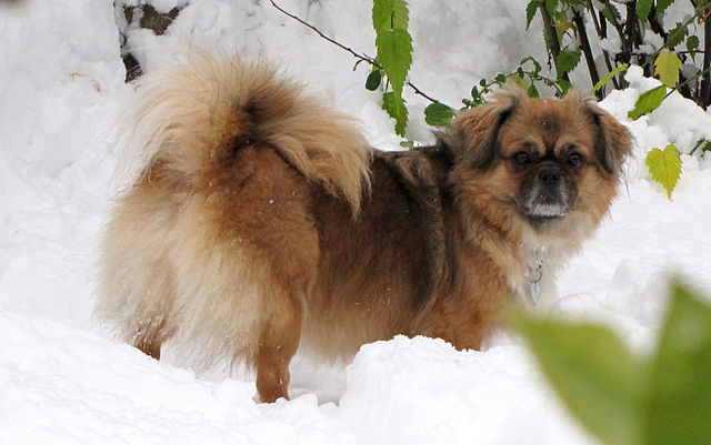 """tibbie dating By linda cole the tibetan spaniel is an old breed, dating back at least 2,000 years like the saint bernard that was raised and bred by augustine monks living in the western alps, the """"tibbie"""" was developed by lamaist monks living in the high himalayan mountains of tibet."""