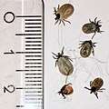Ticks found on two poodles centimeter scale Tjoeme Norway 2017-08.jpg