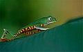 Tiger-striped Leaf Frog (Phyllomedusa tomopterna) (10377329246).jpg