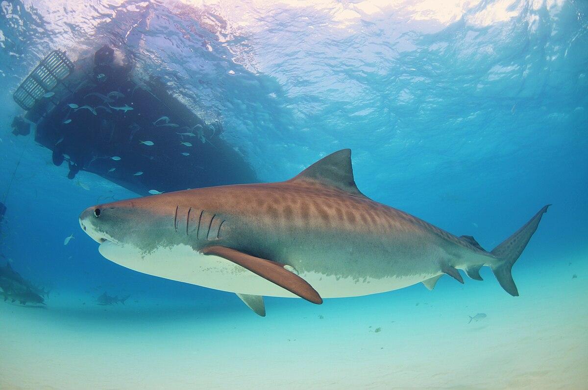 Tiger shark віоліті аукціон україні