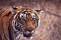 Tigress (Panthera tigris) (19777088686).jpg