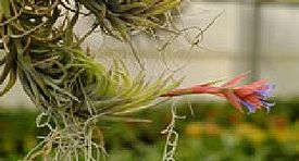 Tillandsia bloom.jpg