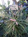 Tillandsia paucifolia 001.jpg