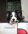 Tired sheepdog - geograph.org.uk - 1278226.jpg