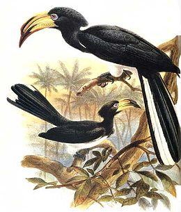 Tockus fasciatus
