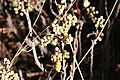 Toxicodendron rydbergii UGA5369905.jpg