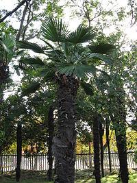 Trachycarpus wagnerianus1