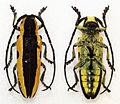 Tragocephala univittipennis (11105188835).jpg