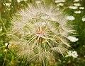 Tragopogon dubius.jpg
