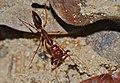 Trap Jaw Ant (Odontomachus rixosus) (8675213015).jpg