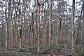 Tree trunks, Dryandra Woodland, Western Australia.jpg