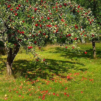 Tree with red apples in Barkedal